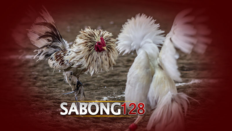 Sabung Ayam S128