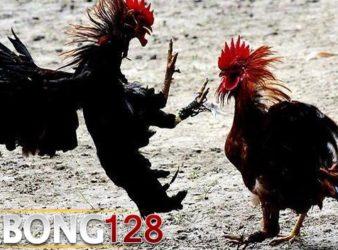 Adu Ayam S1288