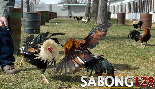 Adu Ayam Live