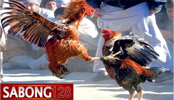 Sabung Ayam Terbesar