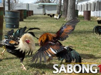 Adu Ayam Pw