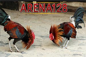 Ayam Adu Bangkok